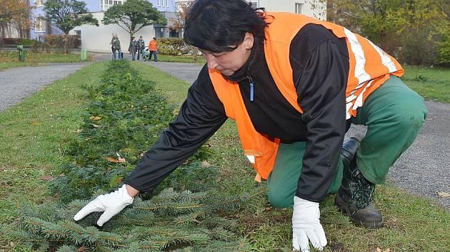 Jedna z pracovnic technických služeb přikrývá záhony květiny na náměstí TGM chvojím. To bylo začátkem prosince, akorát včas, než uhodily mrazy.