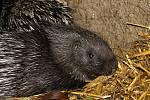 Dikobrazům v chomutovském zooparku se narodila mláďata