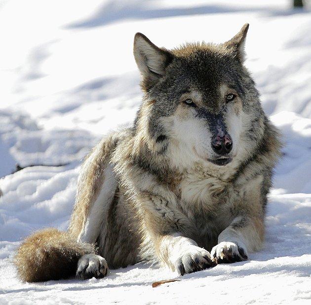 Poslední vlk eurasijský.