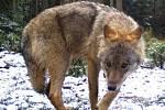 Vlk zachycený fotopastí na Kokořínsku