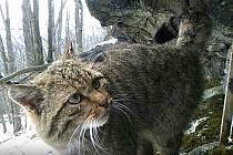 Kočka divoká v Doupovských horách