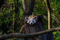 Zoopark Chomutov. Na snímku je panda červená.