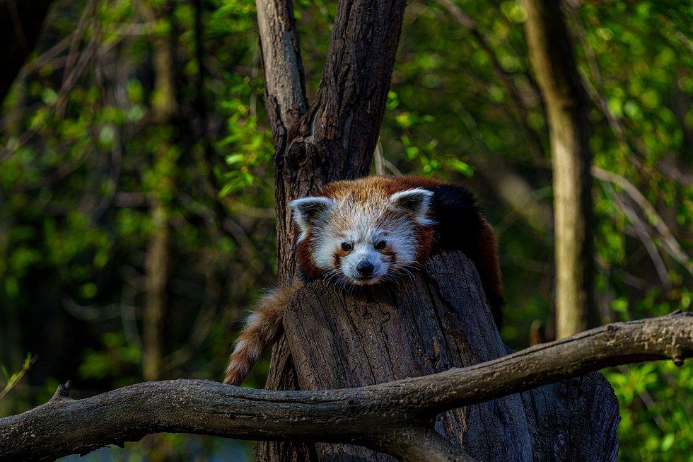 Zvířata v Zooparku během omezeného vstupu z důvodu Covid-19. Na snímku je panda červená. (27.4.2020)
