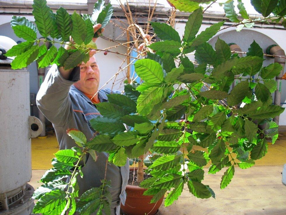 Kávovník, který roste v Elektrárně Prunéřov.