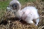 Mládě orlosupa bradatého se narodilo v chomutovském zooparku, žít ale bude ve španělské Andalusii.