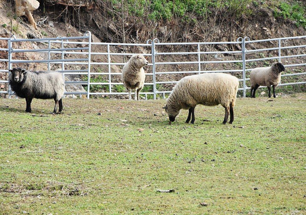 Stádo ovcí za všehrdským úřadem.
