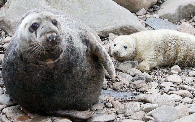 Tulení mládě narozené v chomutovském zooparku. Se svou matku Taške.