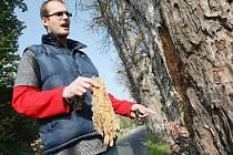 Strom vypadá na první pohled jako zcela zdravý kaštan. Na jaře se zase zazelená a lidé kolem něj budou chodit jako by nic. Zevnitř je ale napadený houbou. Jeho kusy, lze snadno odlomit, jak ukazuje Jan Bach z odboru veřejné zeleně.