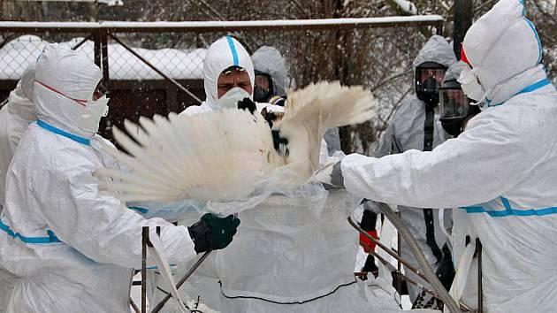 Nebezpečná ptačí chřipka je zpátky. Objevila se ve štěpánovském malochovu