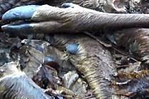Mezi stromy v Orasíně ležela hromada se 120 nohami vysoké zvěře