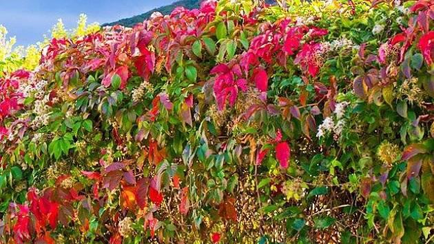 ILUSTRAČNÍ SNÍMEK. Drátěné pletivo schovají na jaře zelené, na podzim rudé listy psího vína a břečťan.