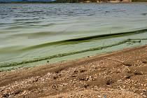 Sinice v Nechranické přehradě