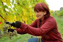 V těchto dnech sklízí hrozny sběrači na vinici Václava Hlavy ve Stranné na Chomutovsku (na snímku). Za tři roky by už mohli sbírat hrozny také na nových vinicích v Kadani.