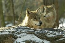 Vlky chovají už řadu let v Podkrušnohorském zooparku v Chomutově. Na snímku jsou dva z těch, které lze ve výběhu zooparku zahlédnout.