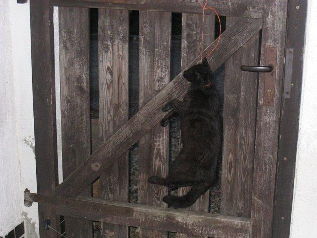 Kočka, kterou někdo oběsil na vratech Romana Pislcejka z Chomutova. Ten to dává do souvislosti s tím, že aktivně vystupuje na podporu odvolaného ředitele zooparku Přemysla Rabase.