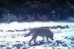 Vlk zachycený na jedné z fotopastí členů mysliveckého sdružení MS Hadí údolí u Výsluní.