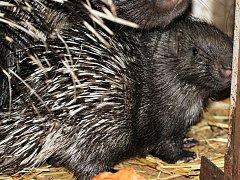 Sotva měsíční mládě dikobraza. Schovává se ve vnitřní ubikaci a matka si ho důkladně hlídá.