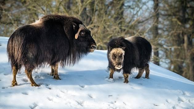 Transport dvou samic pižmoně grónského z nizozemské GaiaZoo.