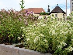V zahradách Františkánského kláštera v Kadani pěstují nejen chmel a víno, ale také bylinky.