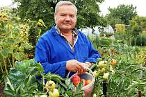 Předseda kolonie Mičurin Vladimír Velikanovič sklízí rajčata