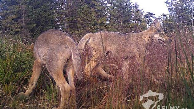 Fotopast zachytila vlčata v krušných horách