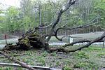 Žeberská lípa jako symbol Národní přírodní rezervace Jezerka, již nerozkvete.