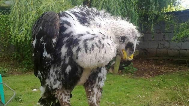 Orel skalní už začíná být pořádný kus, přestože na fotografii mu je teprve 58 dní. A podle váhy se nejspíše jedná o samičku. Na fotografii dole je orlovi sotva měsíc.