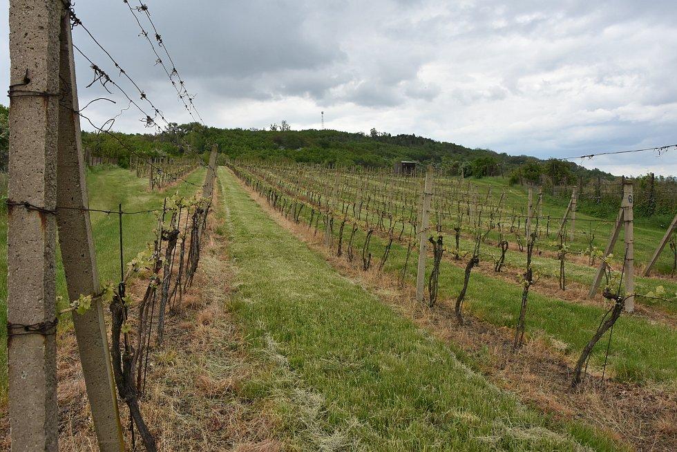 Vinice Karla Němečka je jen kilometr od místa, kde ve 13. století pěstovali vinnou révu mniši.