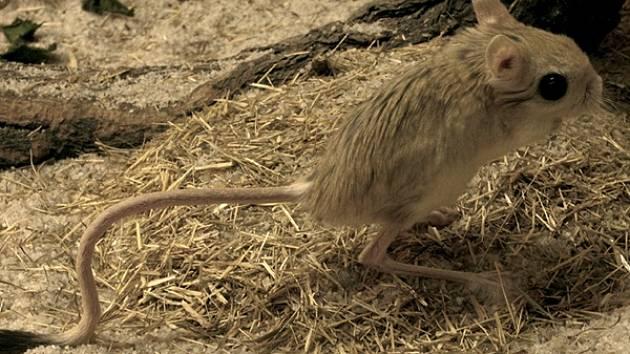 TARBÍK egyptský. Teď ho můžete vidět i v zooparku.