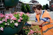 Pracovnice technických služeb Šárka Čapíková upravuje květinovou pyramidu s muškáty. Záhony v Chomutově letos ozdobí na pět tisíc letniček.