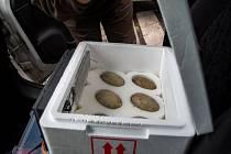 Vajíčka jeřábů v inkubátoru.