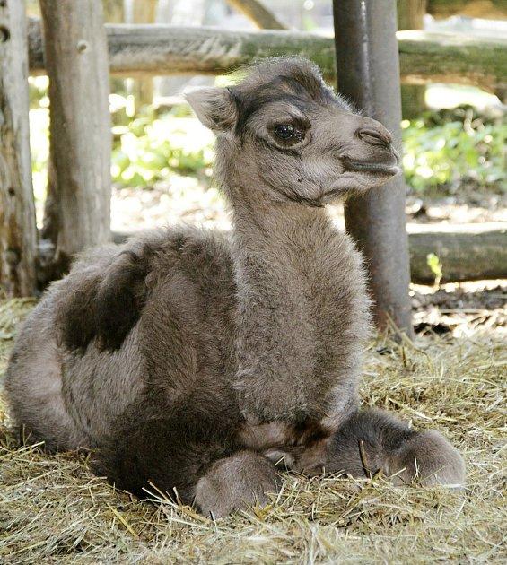 Mladá velbloudí samička Odetka vchomutovském zooparku
