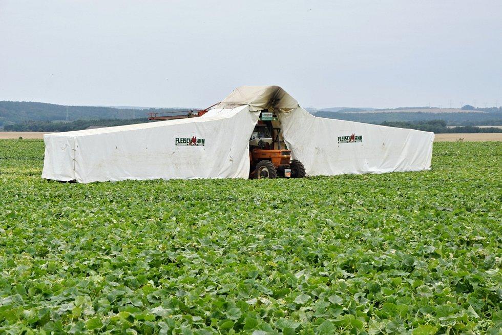 Okurky se sbírají s pomocí traktoru s dvěma křídly. Pod plachtami leží na rámu dělníci, kteří zeleninu otrhávají.