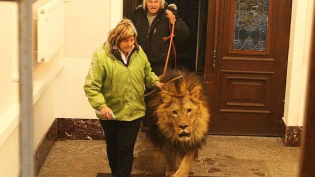 Osmiletý lev Leon budí respekt, i když je pod dohledem svého majitele a zkušeného chovatele. Z přistaveného auta ho pan Kaňa provedl přes schody ve vestibulu přímo do přistavené klece.
