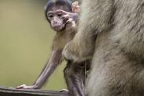 Ahóóój! Mládě makaka vykukuje zpoza maminčiny náruče.