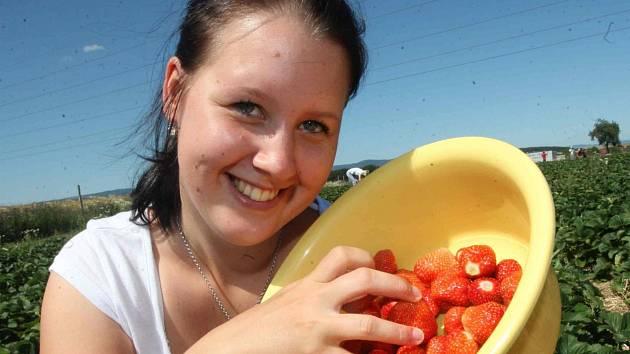 Na plantáži u Droužkovic začala sklizeň jahod. Pokud chcete mít čerstvé, můžete si je přijet koupit, nebo nasbírat sami. Plantáž je otevřena každý den od osmi do sedmnácti hodin.