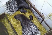 V chomutovském zooparku se v září narodila dvě mláďata dikobraza srstnatonosého