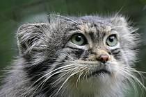 Samice manula z ruské zoologické zahrady v Novosibirsku našlal nový domov v chomutovském zooparku