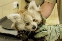 SAMEČEK PANDY ČERVENÉ narozený v zooparku při první veterinární prohlídce. Tou prošla i jeho sestřička.