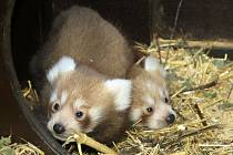 Mláďata pandy červené