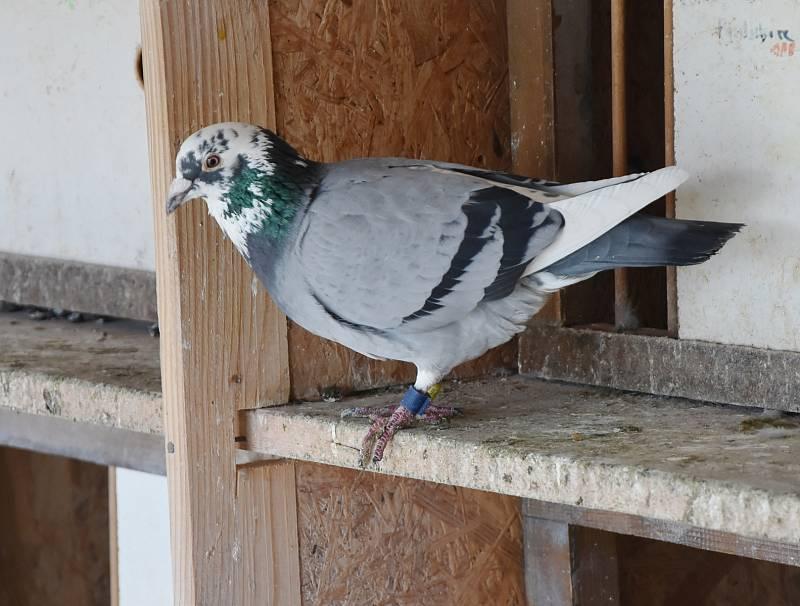 Chov holubů