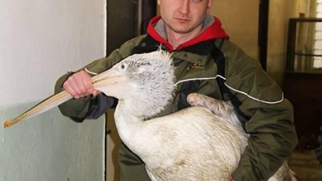 Pelikán v rukách chovatele