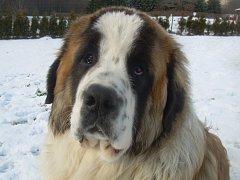 Moskevský strážní pes Argo se ztratil majitelům v Blahuňově. Už týden po něm marně pátrají.