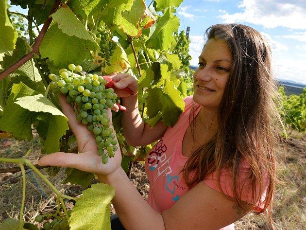 Iva Mikulášková z Vičického vinařství,sklízí odrůdu Solaris