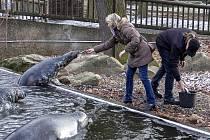 Jubilejní čtvrtmiliontá návštěvnice si se svým přítelem mohla nakrmit tuleně.