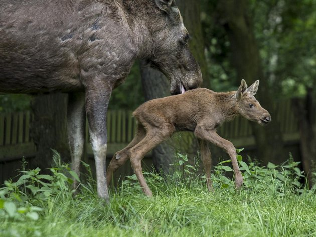 Mládě losa evropského zatím nemá jméno a chovatelé neznají ani jeho pohlaví. Podle určitých znaků to však ale spíše vypadá na samičku.