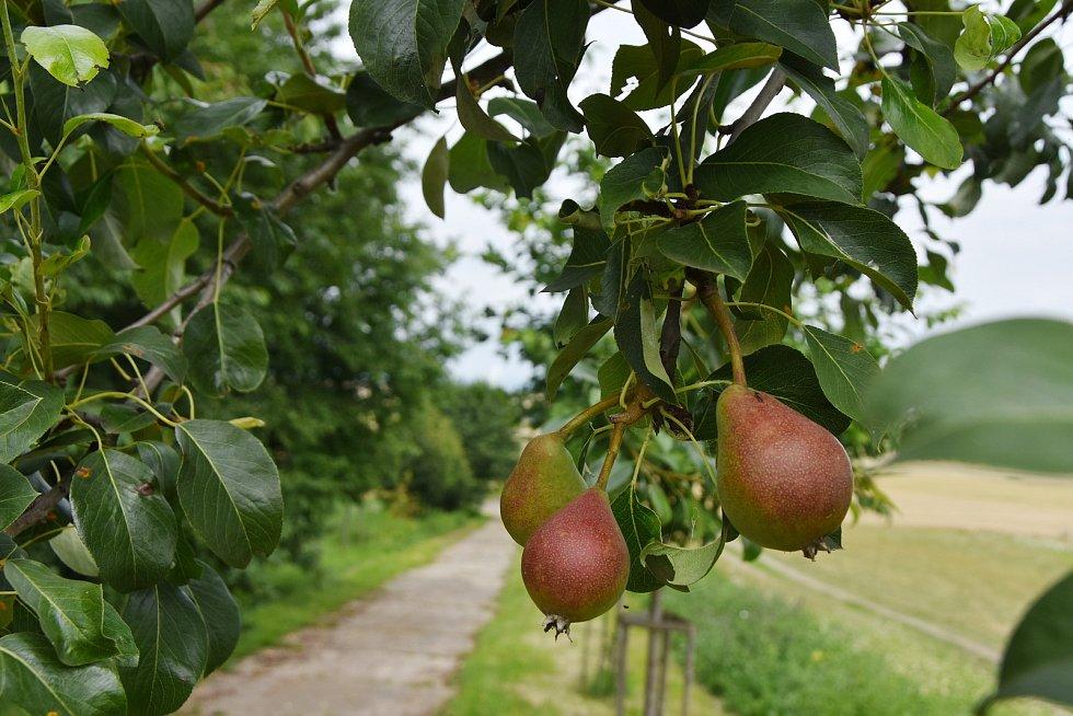 Ovocné stromy vysázené v rámci projektu Cesta v polích.