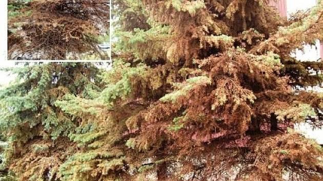 Mšice devastují smrky také na sídlišti Matěje Kopeckého v Chomutově. Na detailním snímku jsou vidět opadané větve bez jehličí.