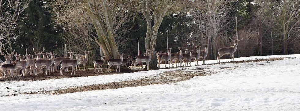 Stádo jelenů, které chovají na farmě ve Výsluní.