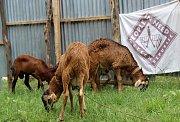 Do rozvojových zemí prostřednictvím nakoupených koz, krav a ovcí poslali Češi sedmnáct milionů korun. Velká podpora přišla i z našeho regionu.